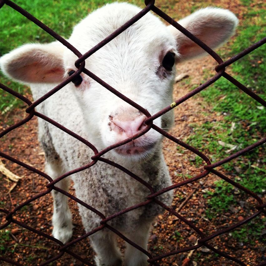Close-up Beauty In Nature Fence Chainlink Fence Protection One Animal EyeEmNewHere Lamb Baby Sheep Animal Themes Security Metal Focus On Foreground Mammal Day No People Domestic Animals Outdoors Portrait Cage Grass EyeEmNewHere