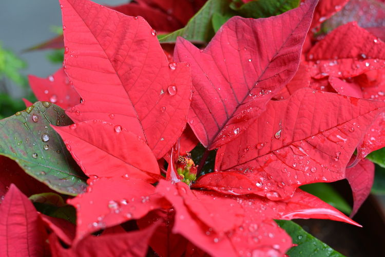 Autumn Beauty In Nature Change Close-up Day Drop Leaf Leaves Nature No People Outdoors Plant Poinsettia Flower Poinsettia Plants Poinsettia With Christmas Tree Rain RainDrop Red Red Red Flower Water