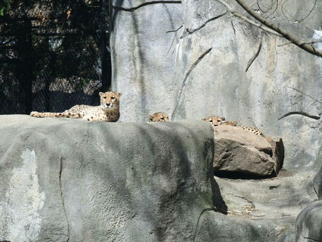 Cheetahs Keeping Watch Hanging Out Fastest Land Animal Zoo Animals  Zoo Animal Family Cute Animals From A Distance Big Cats