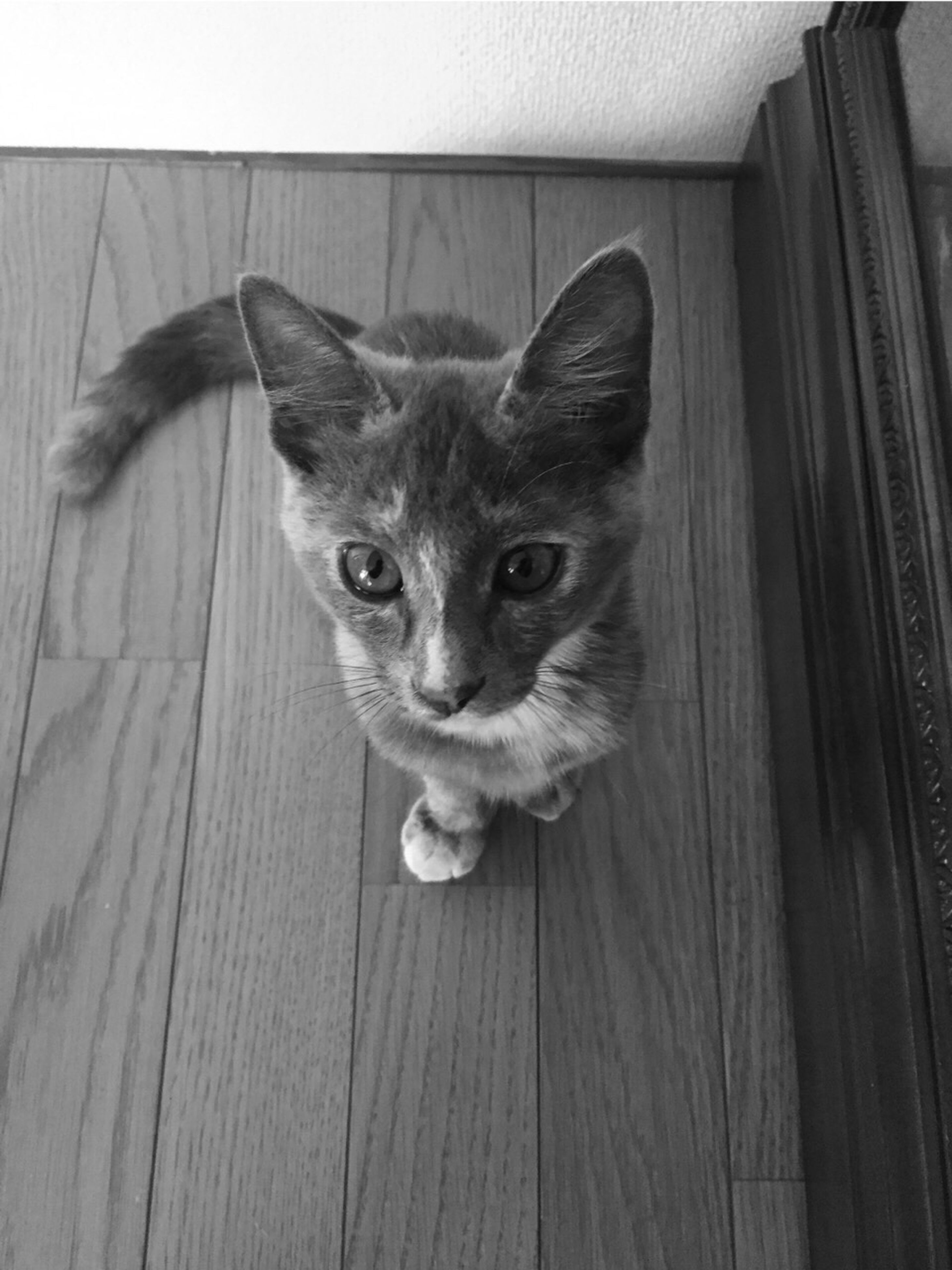 pets, domestic animals, animal themes, one animal, domestic cat, cat, looking at camera, portrait, feline, mammal, auto post production filter, close-up, wood - material, whisker, plank, hardwood floor, wooden, alertness, zoology, animal head, animal