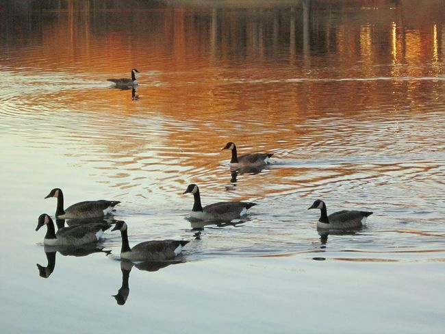 Geese At The Lake Tree Reflections Beauty Everywhere Naturelover❤ Lakebeauty