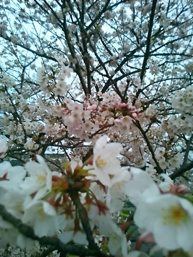 今日の桜。いまが満開。 Beautiful Day Cherry Blossom Leaf Cherry Blossoms Cherry Tree Beautiful View Cherry Tree Flower Japanese Spring Blossom
