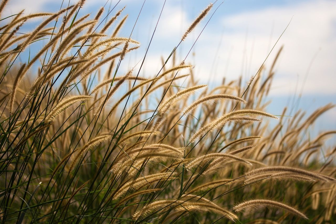 Agriculture Growth Crop  Cereal Plant Farm Rural Scene Field Nature Close-up Sky Outdoors No People Plant Tranquility Wheat Beauty In Nature Day Scenics Ear Of Wheat Grass Grassland Grassfield Grassflower Grassflowers Flower
