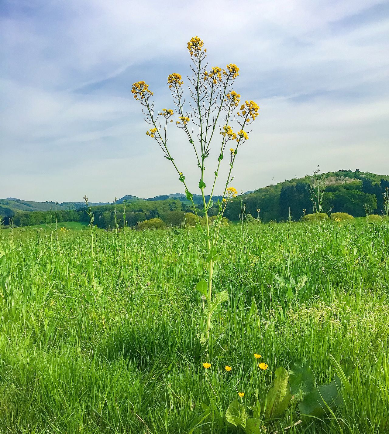 Nature Cup 🌾🏆🌾 Nature_cup Cup Flower Meadow Spring Greengrass Blackforest Schwarzwald Nature Photography EyeEm Nature Lover EyeEm Best Shots - Nature Beautiful Nature Nature_collection