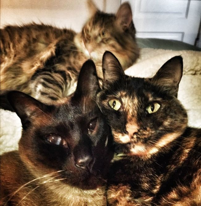 It's a clique when two are in love and the third is a bit pushy. :) Affection Alertness Animal Head  Animal Themes Bedroom Breed Cat Clique Comfortable Crowd Curiosity Domestic Animals Domestic Cat Feline Group Home Indoors  Looking At Camera Love Mammal Pets Portrait Relaxation Relaxing Whisker