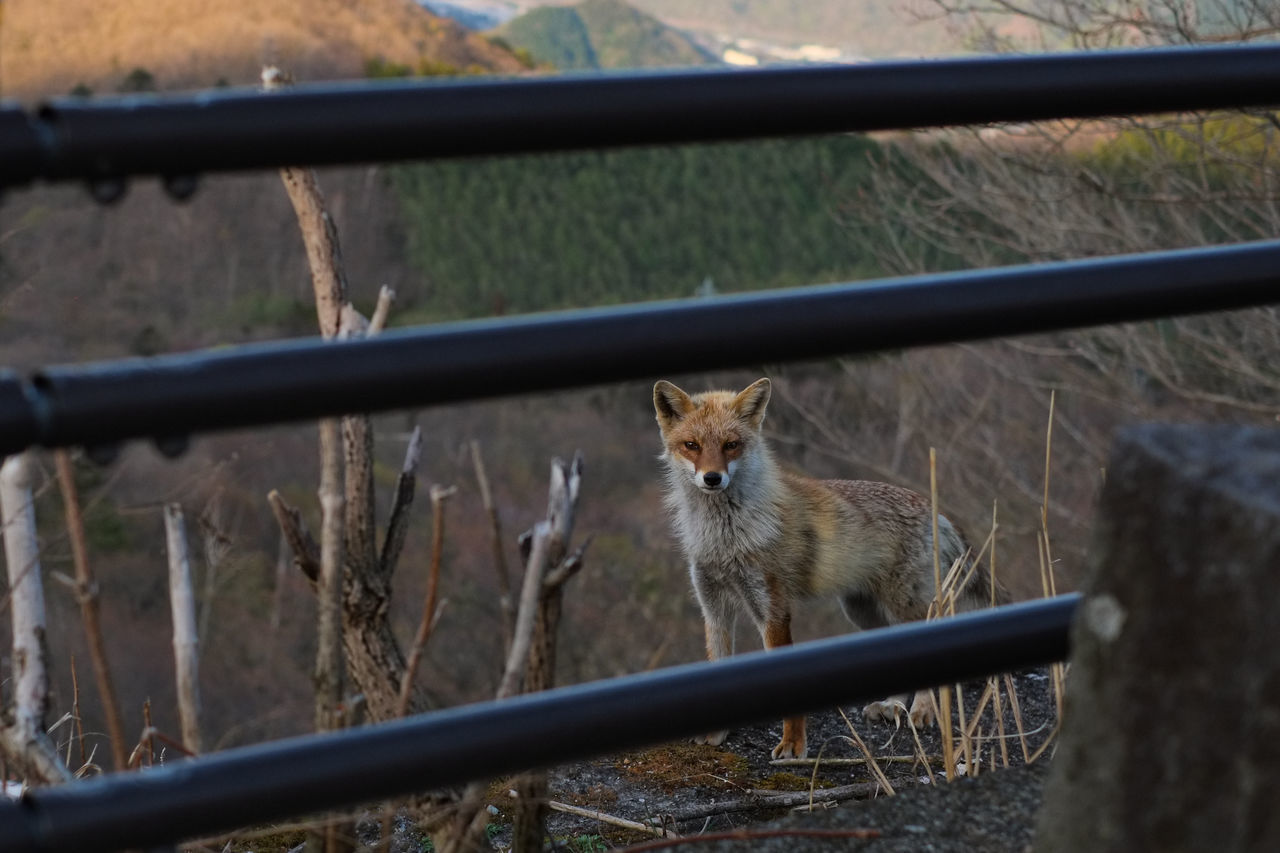 A wild fox. Nasu, Tochigi, Japan. Animal Themes Day Domestic Animals Domestic Cat Feline Fox Fujifilm Fujifilm_xseries Japan Mammal Nature No People One Animal Outdoors Pets Wild Wild Animal Wild Animals Wildlife