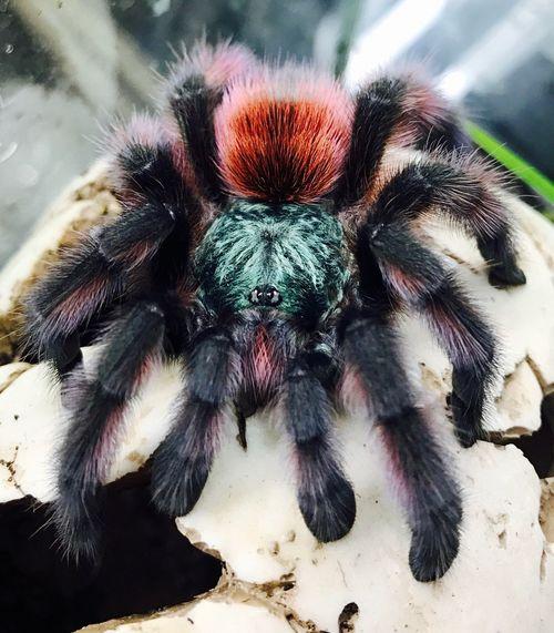 Tarantula Versicolor Spider