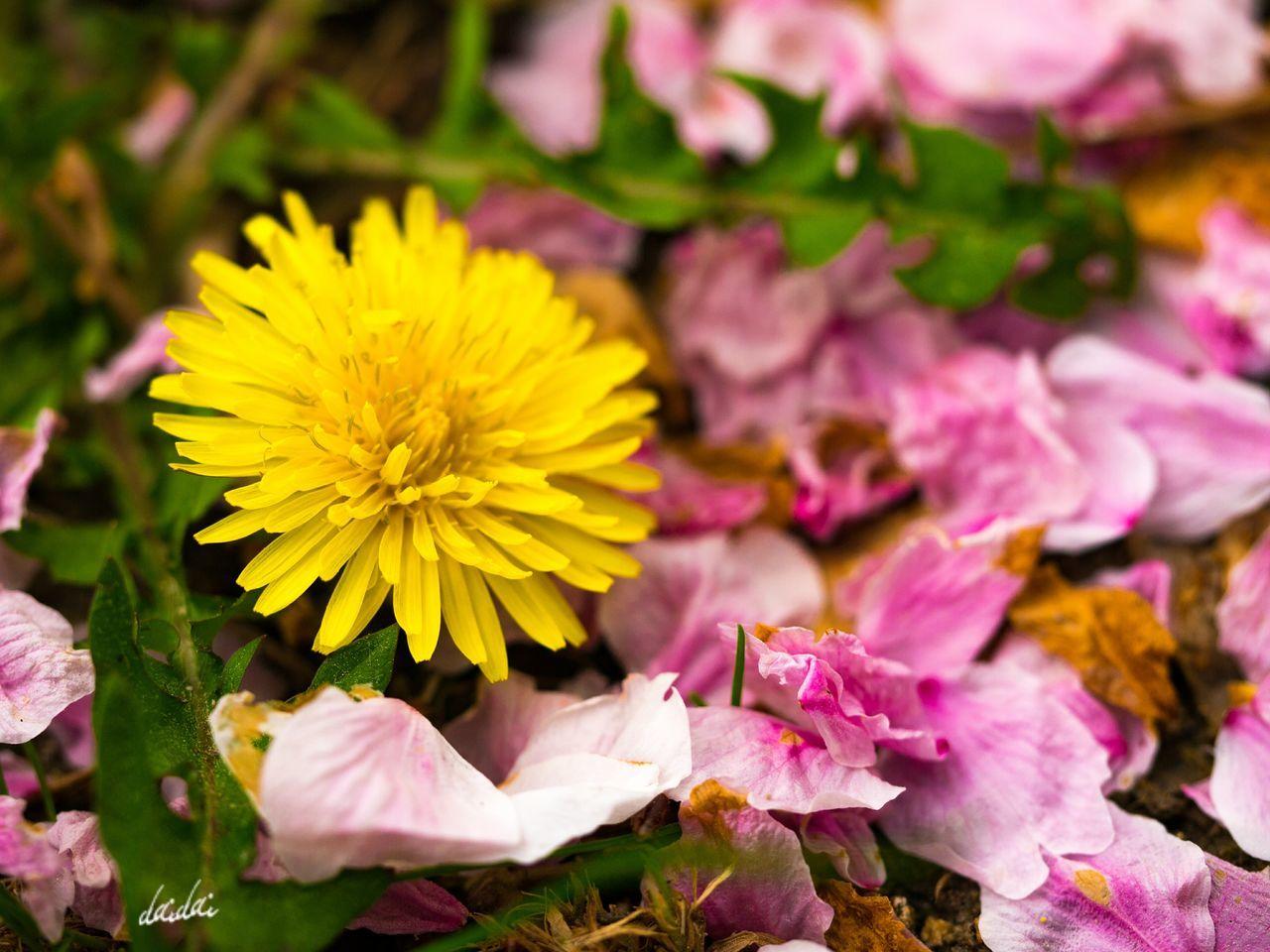 farewell E-PL3 Fukuokadeeps 海の中道海浜公園 Flower 花 RAW 編集 桜 Cherry Blossoms 蒲公英 Dandelion