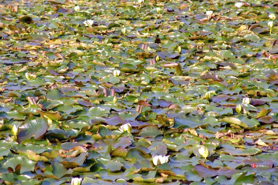 Seerosenmeer. Nature Lake Barnim Brandenburg