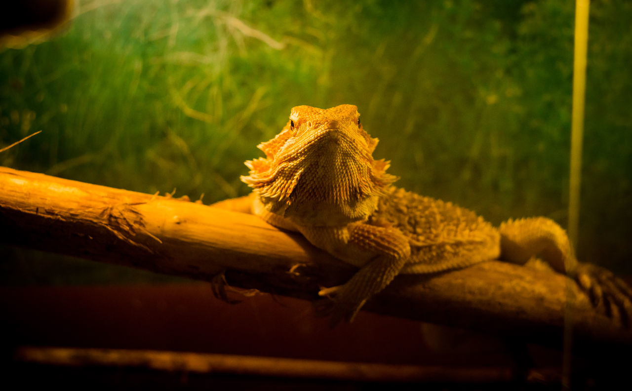 ночной охотник Animal Themes Animal Wildlife Animals In The Wild Bearded Dragon Close-up Day Helios 44m-6 Iguana Indoors  Lizard Nature No People One Animal Reptile Sony A6000 Wood - Material