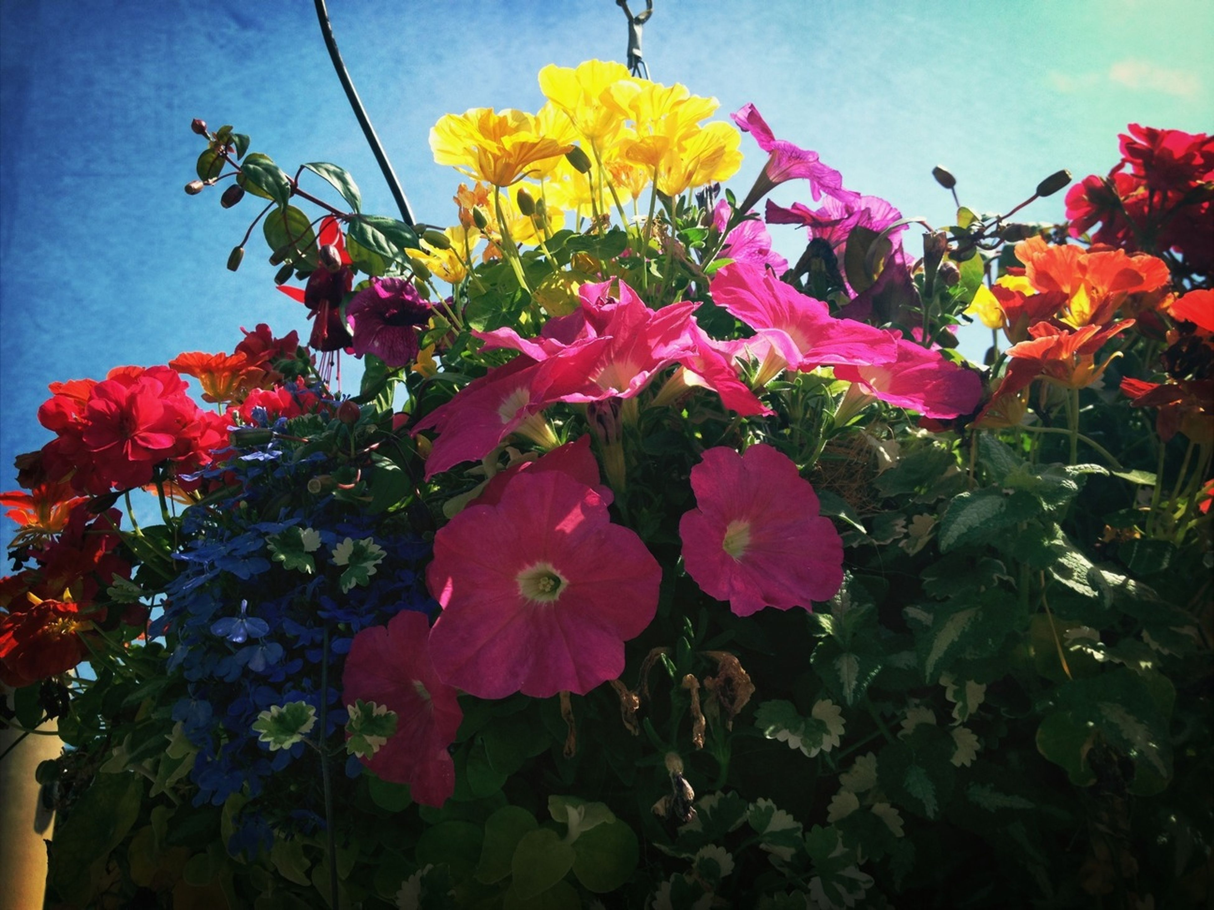 flower, freshness, fragility, growth, beauty in nature, sky, low angle view, petal, nature, leaf, blooming, plant, in bloom, red, flower head, blossom, blue, sunlight, day, cloud - sky