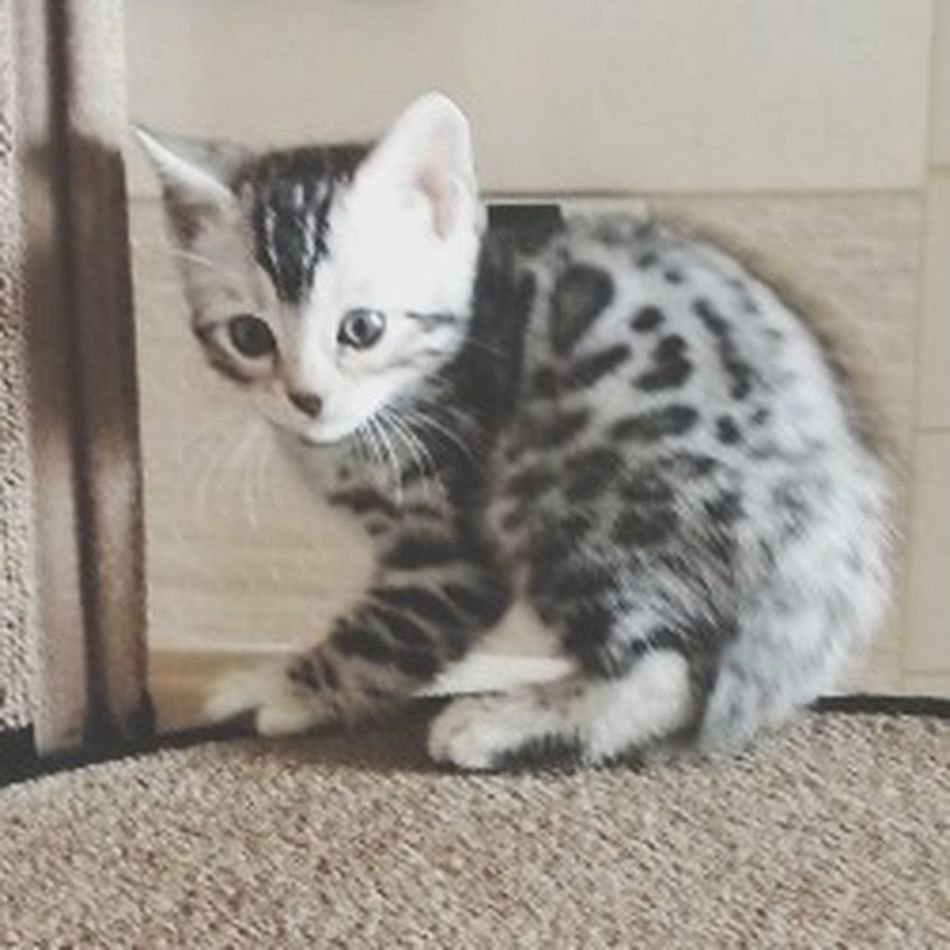 Aak  Bengal Cat our new family :) Animals Cats