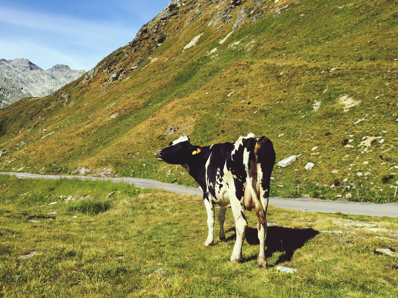 Cow Cows Alps Swiss Alps Swiss Mountains Animals Animal Themes Animal Kuh Rind Wild Blackandwhite Black And White Colors Colour Of Life Photography Gotthard Sangottardo Grass Green Wildlife & Nature Photography In Motion Photo Of The Day EyeEm Best Shots Young