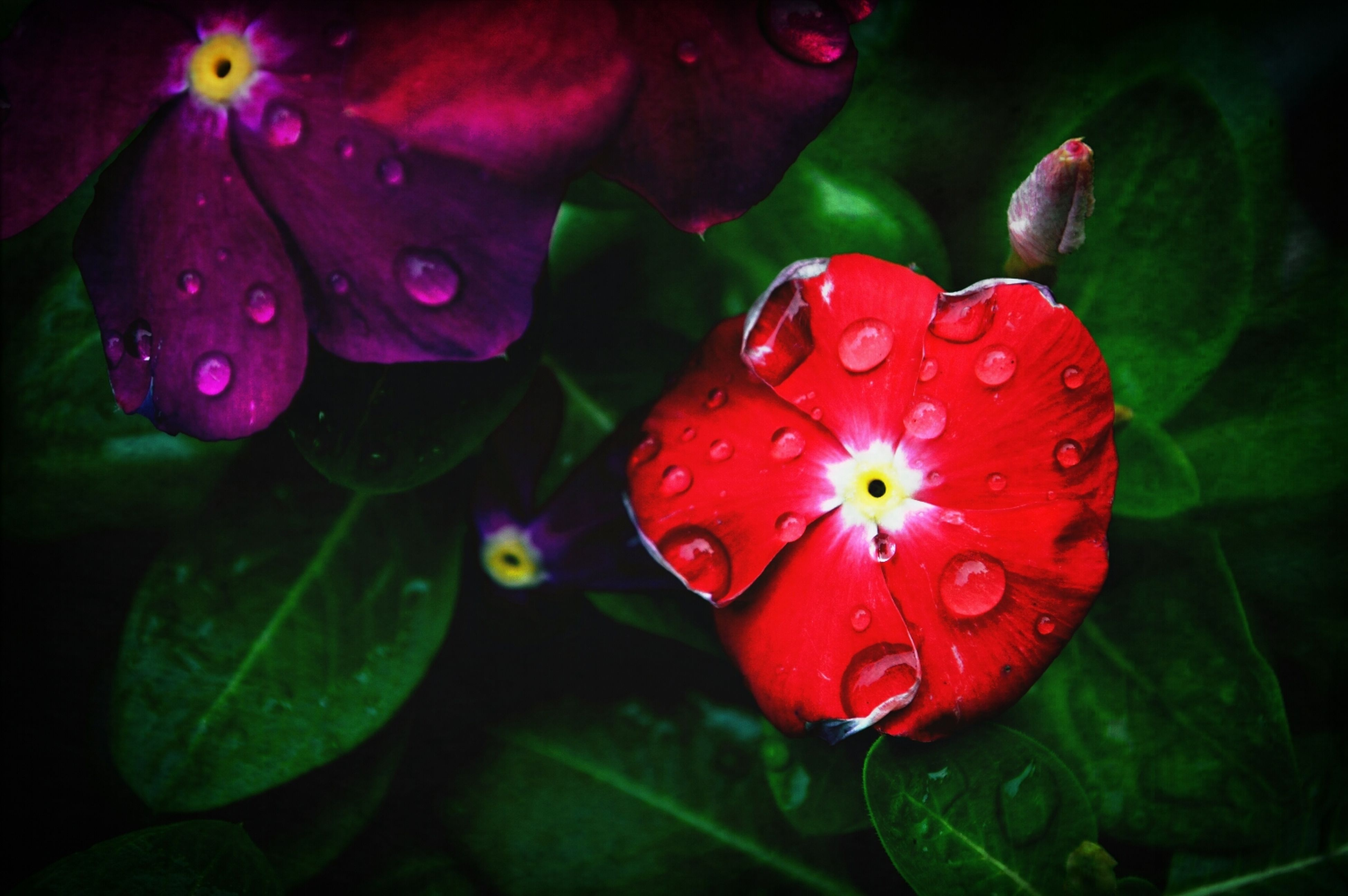 flower, freshness, petal, growth, fragility, red, beauty in nature, flower head, close-up, drop, water, plant, nature, leaf, blooming, pink color, wet, green color, bud, focus on foreground