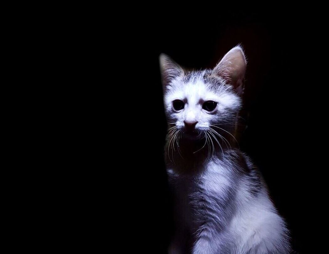 Live For The Story Domestic Cat Feline Pets Animal Studio Shot Black Background Portrait Cute Looking At Camera Domestic Animals Animal Themes Beauty Kitten No People Indoors  Friendship Close-up Mammal