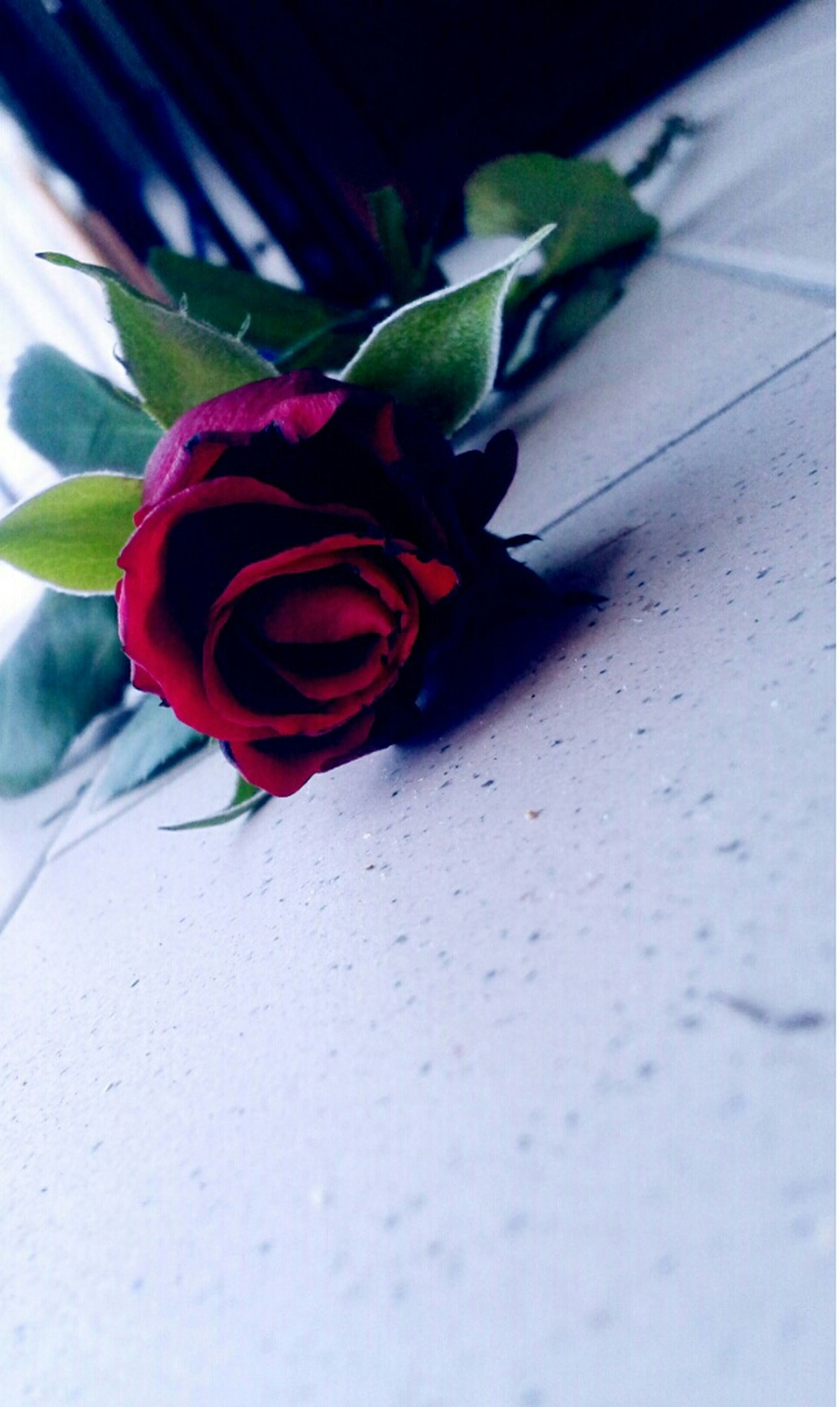 red, flower, leaf, plant, indoors, rose - flower, close-up, high angle view, freshness, fragility, petal, growth, potted plant, no people, green color, table, nature, pink color, sunlight, day