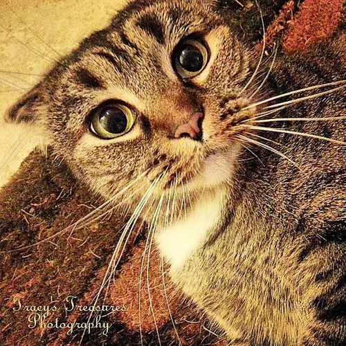 I love my Sophie Sue♡ Igrsbest , Caturday , Tracyjule , Chicagoigrs , scottishfold, flateared, feline, cat, kitty, Sophiesue, tracys_treasures_photography, tracyj2472