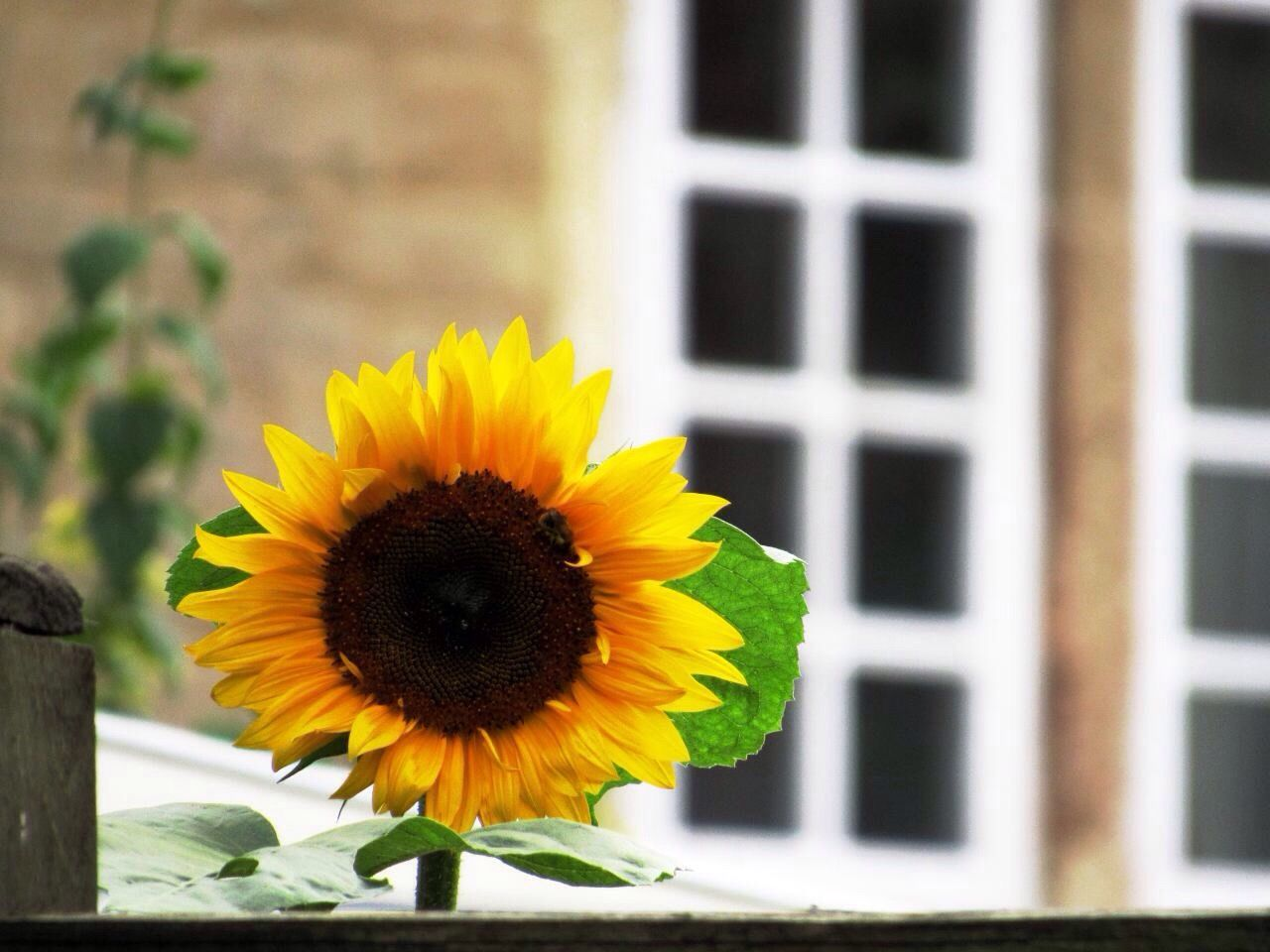 flower, yellow, fragility, petal, beauty in nature, nature, freshness, flower head, sunflower, plant, growth, blooming, outdoors, no people, close-up, day, built structure, building exterior, architecture, black-eyed susan