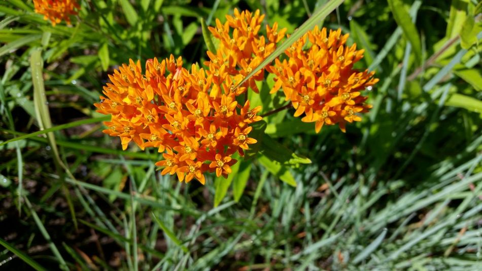 Orange wildflowers on flood plain Natural Beauty Naturephotography Naturelovers Nature Nature Photography Flowers Nature Is Art Outdoor Photography Flowerpower Flowerporn Flowers, Nature And Beauty Flower Photography Flower Flowerlovers Mazomanie, Wi Color Of Life