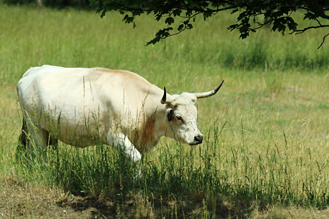 Cow Cows Animals Animal Animal_collection Animal Photography EyeEm Rind Ochsen Nature_collection