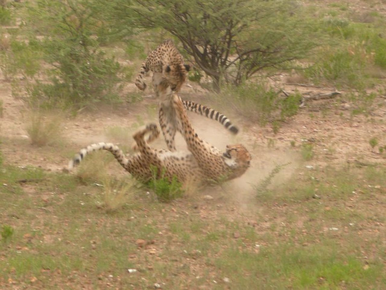 animals in the wild, animal themes, one animal, grass, mammal, field, wildlife, animal wildlife, day, nature, outdoors, no people, animal markings, full length, safari animals, cheetah