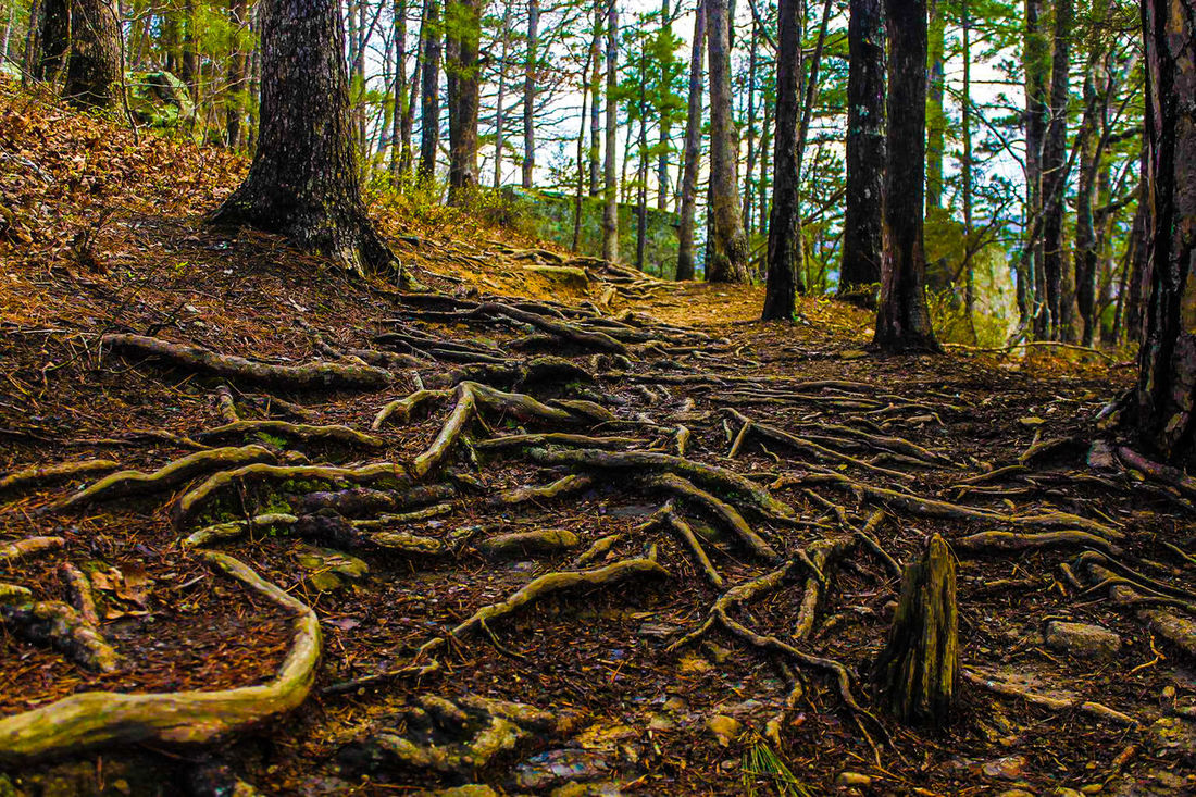 Tree Forest Nature Growth Outdoors No People Tranquility Non-urban Scene Full Frame Beauty In Nature Scenics Tranquil Scene Day National Park Collection Ozarknationalforest Nature_collection Nature Photography Naturephotography Arkansas Rooted Roots Art Beauty In Nature Nature Growth