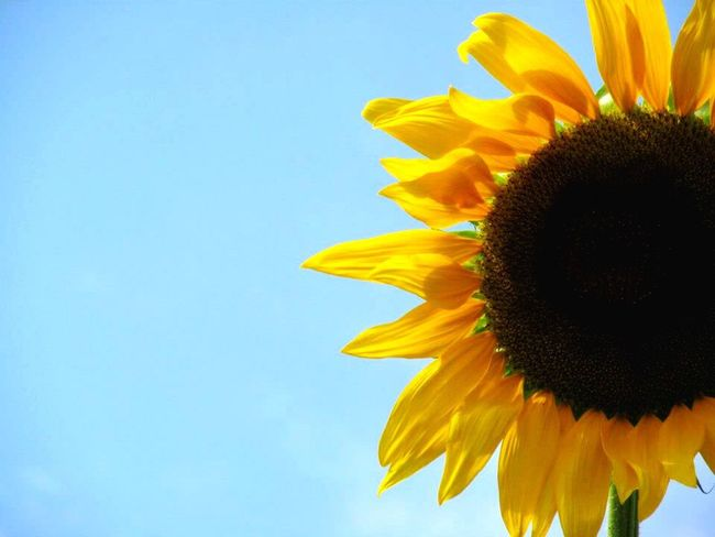 Flower Yellow Sunflower Nature Beauty In Nature Petal Fragility Pollen Clear Sky Sky Nature Day Illuminated