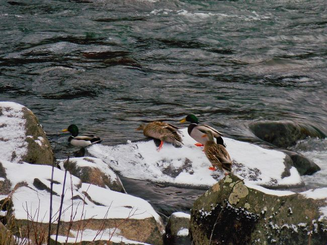 Little Duckies Taking Photos Cheese! Snow ❄ Enjoying Life High Rocks Gladstone OR Clackamas River