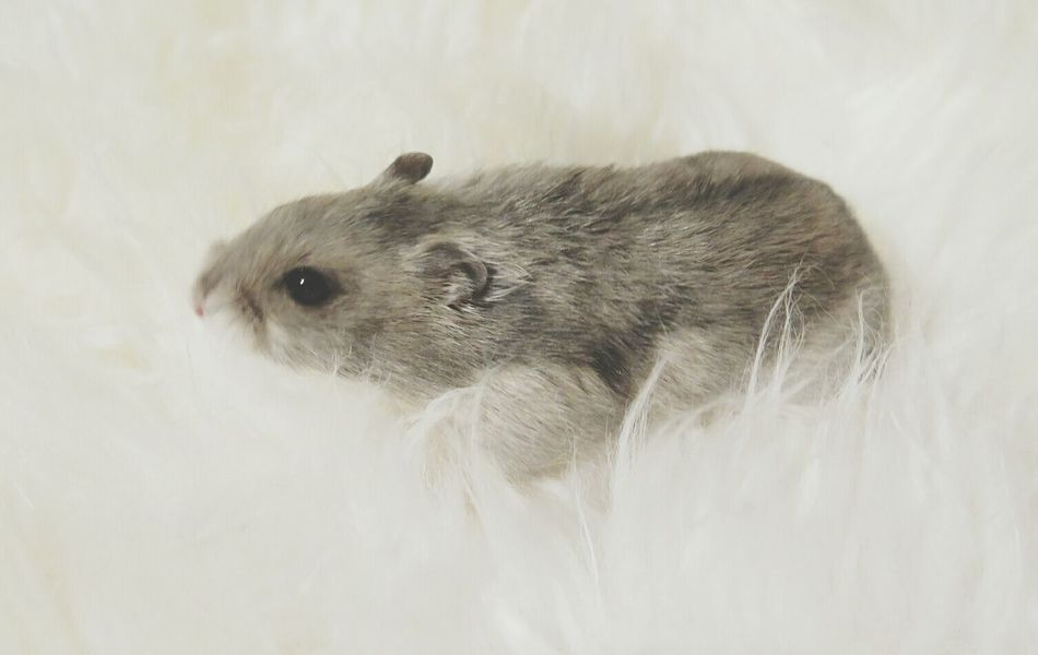 Beautiful stock photos of hamster, Animal Themes, Close-Up, Djungarian Hamster, Hamster