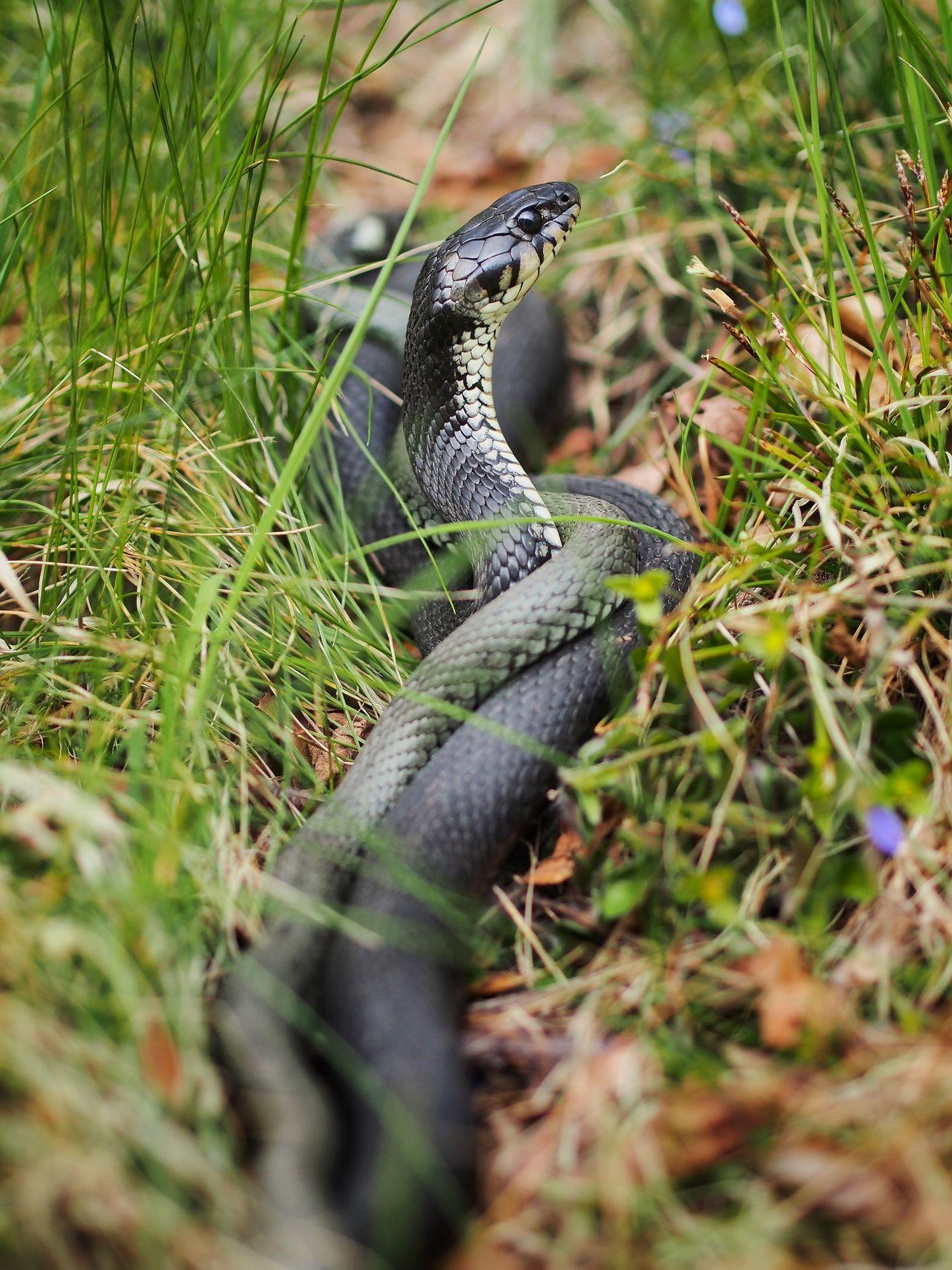 Natrix Natrix Grass Snake Snake Snok M.Zuiko 45mm 1:1,8