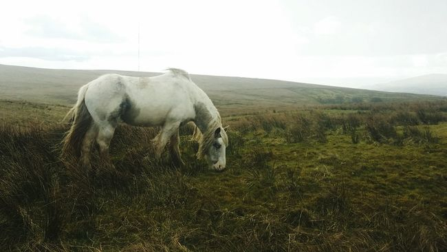 Wild Irish Horse Northern Ireland Belfast Green Grass