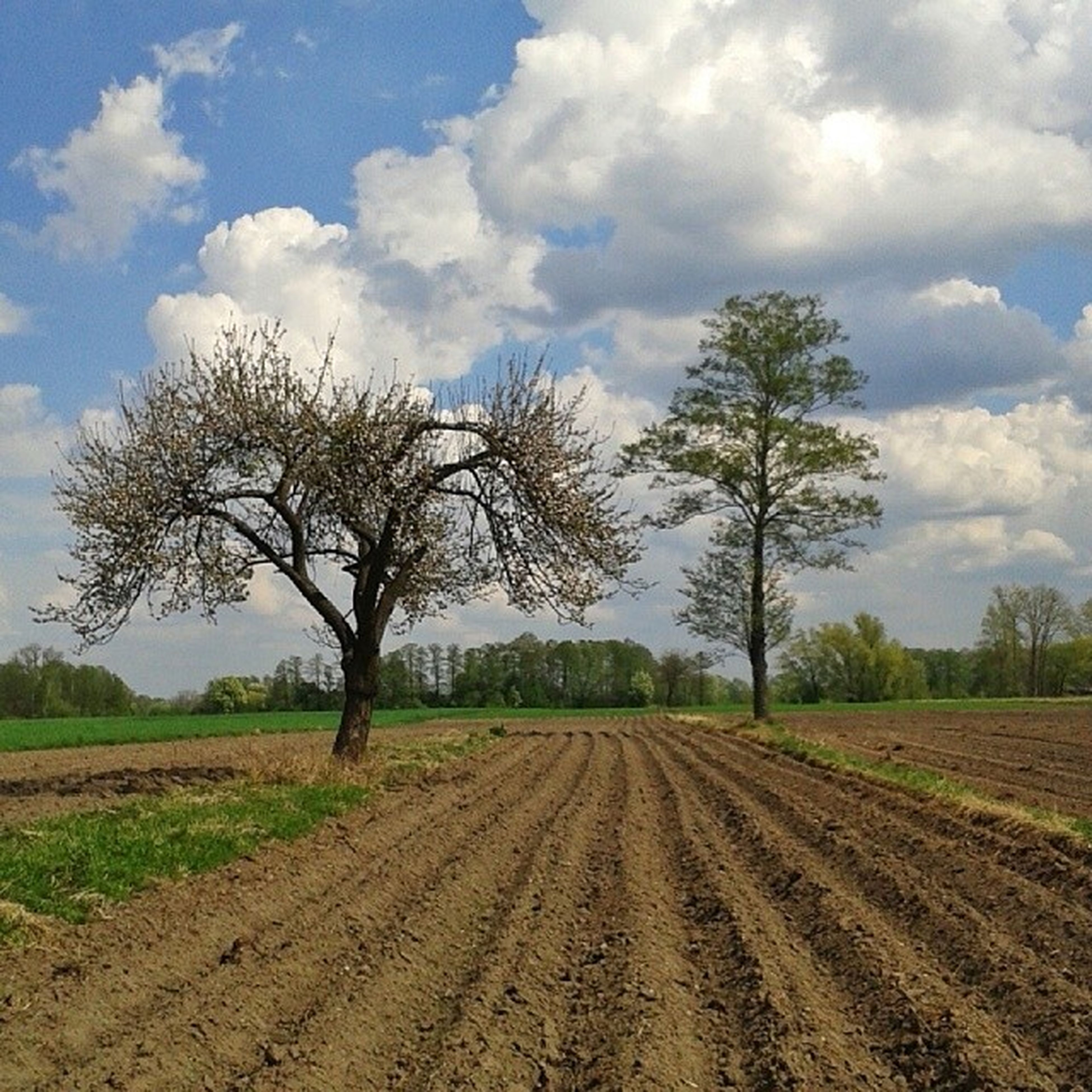 field, landscape, tree, rural scene, agriculture, sky, tranquility, tranquil scene, farm, nature, bare tree, scenics, grass, growth, beauty in nature, the way forward, cloud - sky, crop, dirt road, cloud