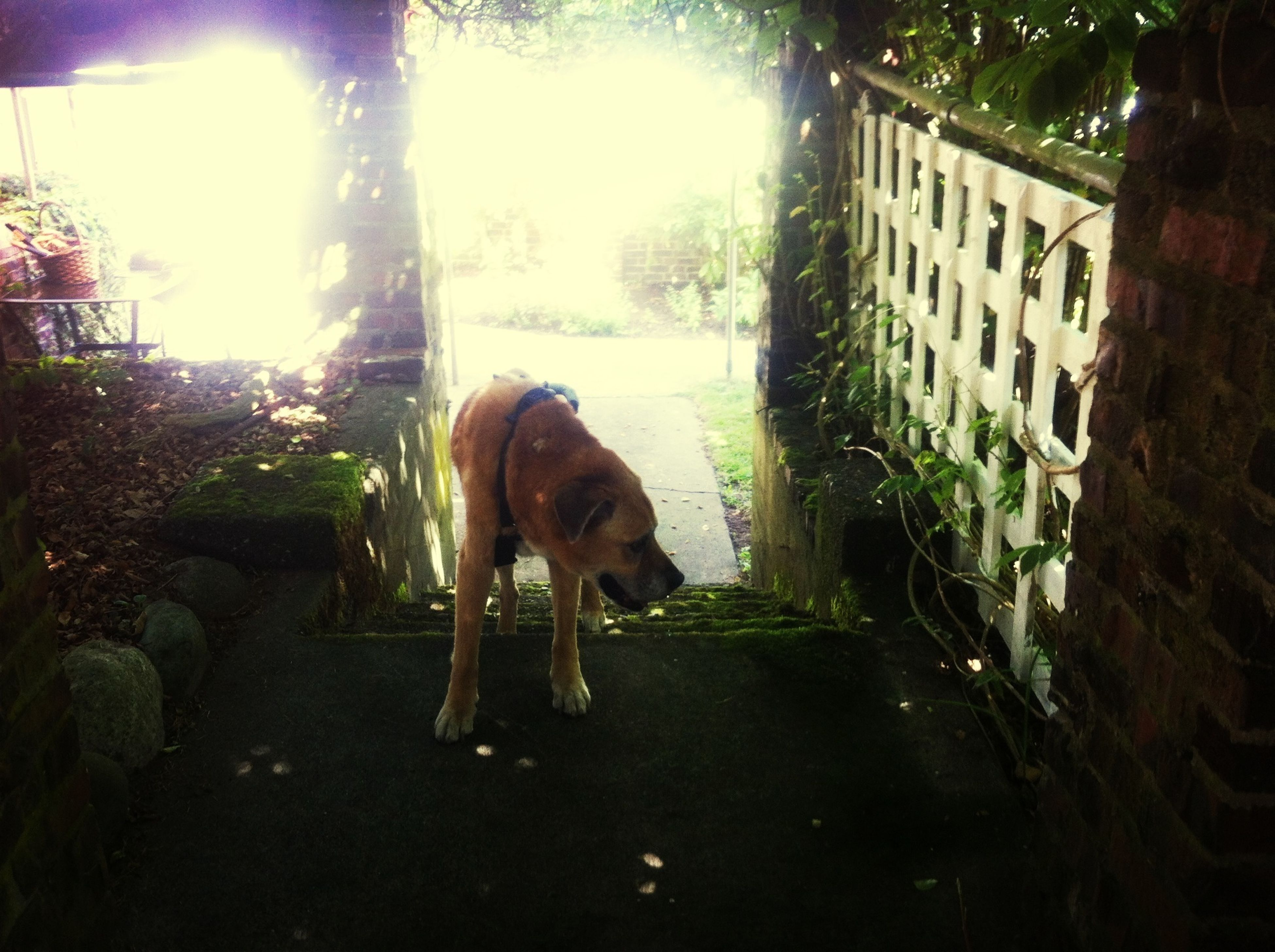 animal themes, mammal, domestic animals, pets, dog, one animal, sunlight, full length, building exterior, built structure, tree, standing, architecture, sunbeam, day, sitting, outdoors, lens flare, no people, walking