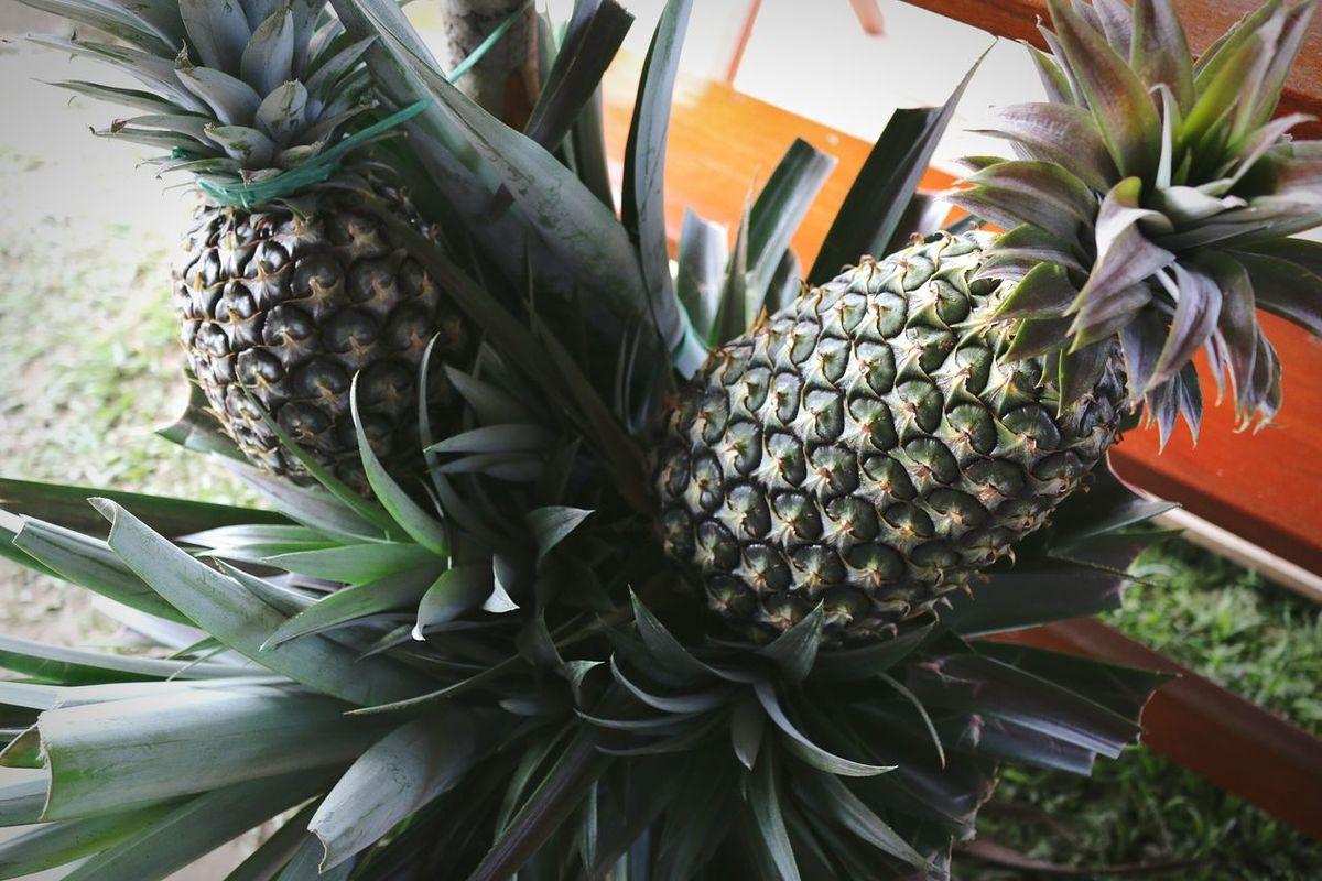 Tourist Destination Bariotown Local Food Bariofood&culturefestival Local Pineapple Delicious Fruit
