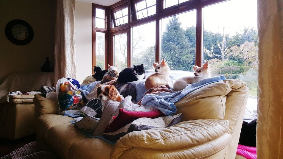 Hanging Out Animals Dogs Cat Watching I Love My Dog Taking Photos Playing With The Animals First Eyeem Photo Relaxing Togetherness Sitting Having Fun Enjoying Life Check This Out Cats Of EyeEm Cute♡ Chihuahua Hi! Living Life Cute Dog Black Cats Doglife Catsofinstagram Chihuahuas<3