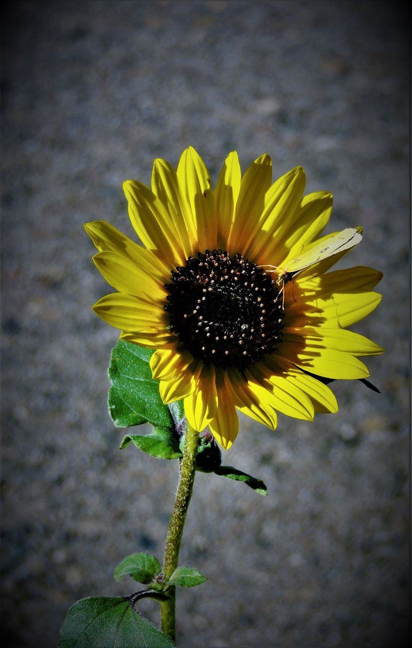 flower, fragility, petal, yellow, flower head, freshness, beauty in nature, nature, growth, plant, pollen, close-up, botany, blooming, day, no people, outdoors, sunflower, black-eyed susan