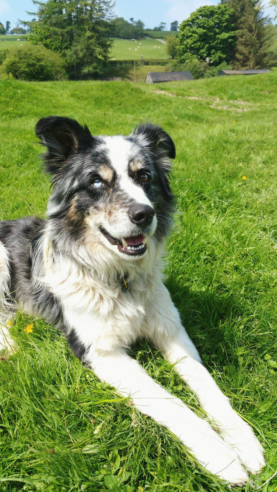 A new friend. .. Sheepdog Dog Farm Wales Animals Animal Countryside Farm Life Grass Fields Fieldscape овчарка собака поле