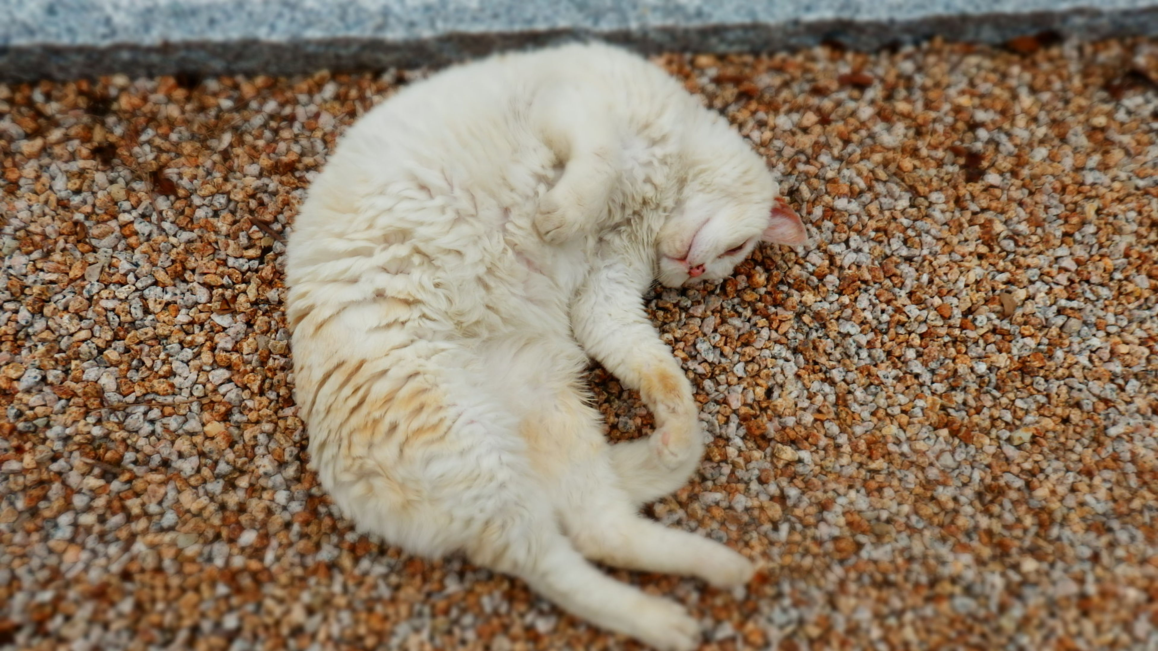 animal themes, one animal, pets, domestic animals, domestic cat, cat, mammal, feline, relaxation, whisker, high angle view, close-up, white color, resting, lying down, sleeping, zoology, no people, day, cute