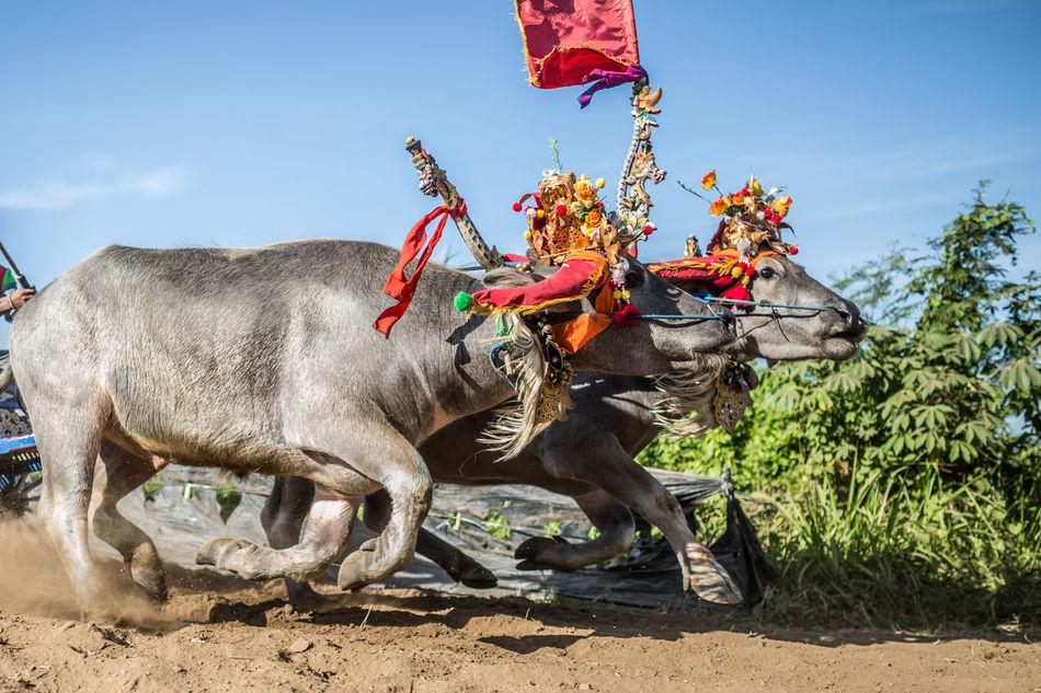 Beautiful stock photos of buffalo,  Animal,  Animal Head,  Animal Themes,  Animal-Powered Vehicle
