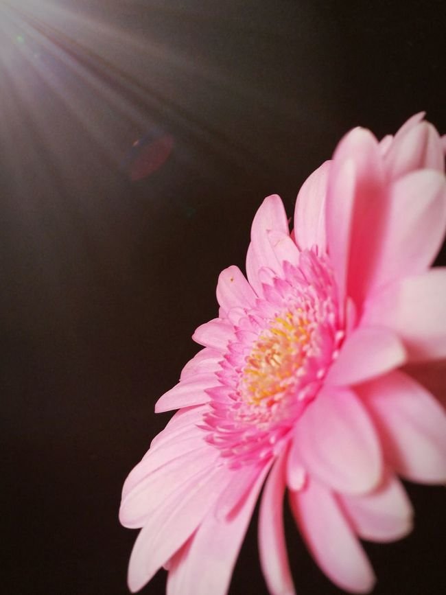 Gerbera Daisy Daisy Flower Flare Pink Pink Flower Pink Daisy Close-up BrightContrast Beautiful