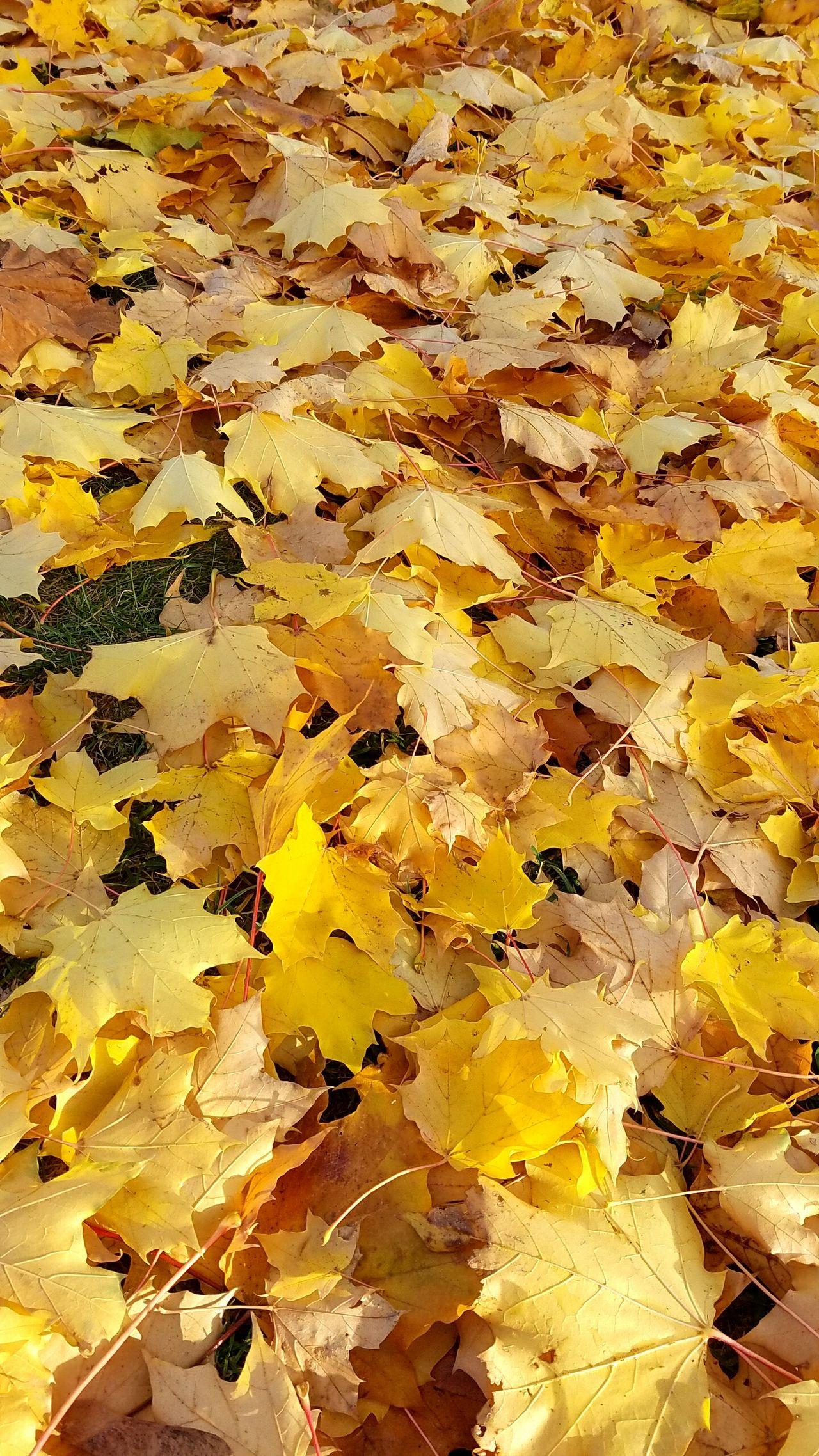 Canadian Outdoors Autumn Leaf Autumn Leaves Autumn Autumn Colors Trees Canada Leaf Fall Fall Leaves Fall Colors Day Close-up Yellow Yellow Leaves 캐나다 단풍 가을 정서 가을 낙옆