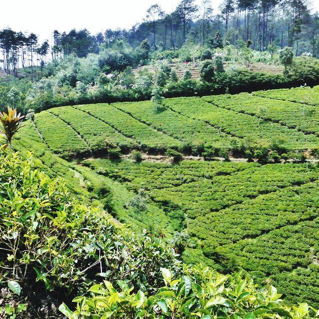 Tea Gardens😍 INDONESIA Beautiful Nature Tea Gardens Majalengka Justgoshoot Nature Photography Naturephotography Nature_shooters Beautiful View Beautifulview Photographylovers