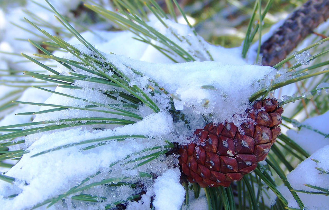 Snow covered pine cone. Beauty In Nature Close-up Cold Cold Temperature Nature Nature Photography Nature_collection Outdoors Pinecone Snow Tree Winter Winter