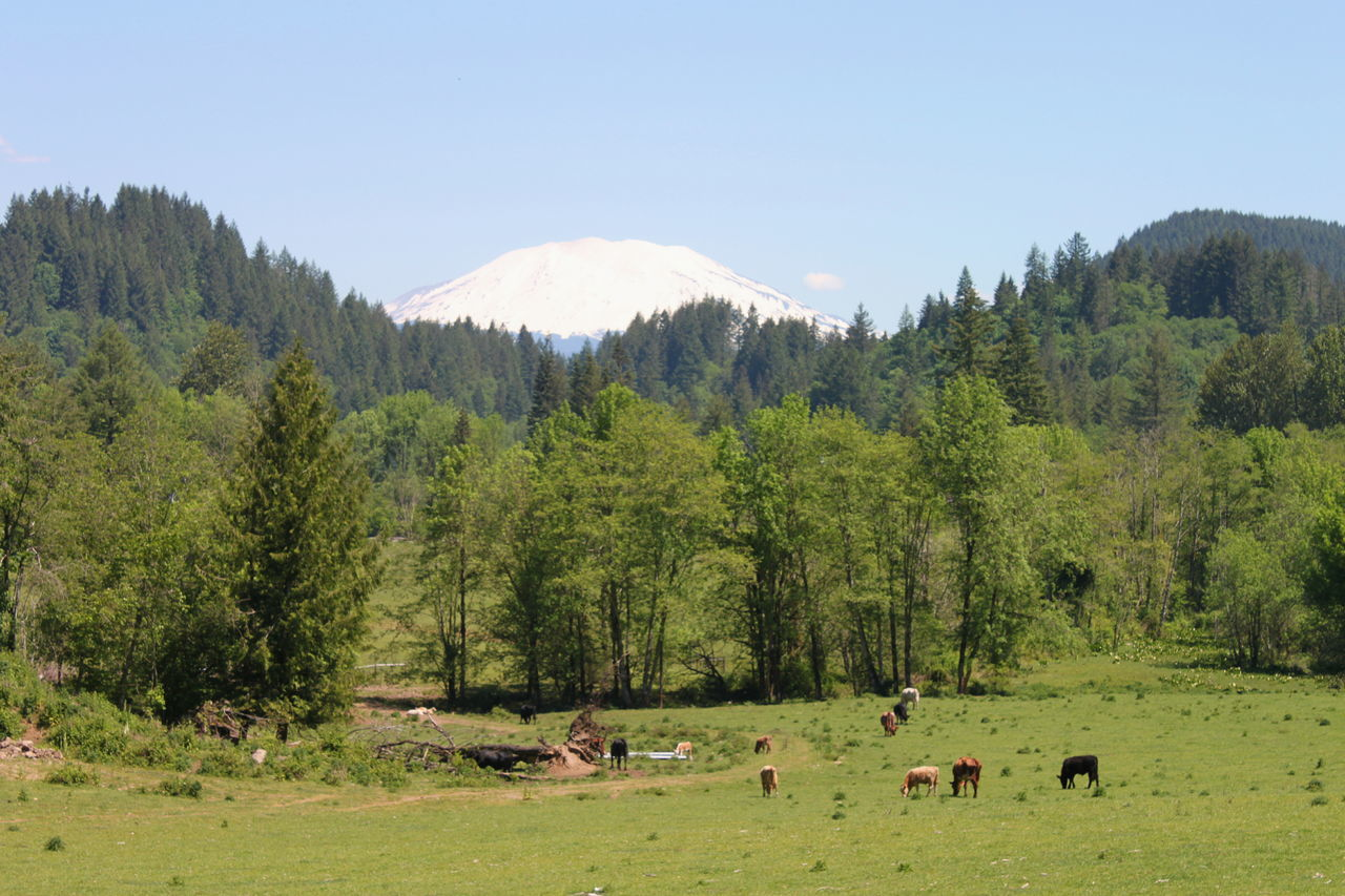 Tree Forest Mountain Outdoors Landscape Scenics No People Mt St Helens Pacific Northwest  Cascade Mountains Cascadia Cattle Rural Scene Rural America Rural