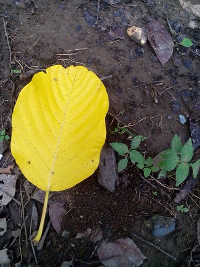 the yellow leaf falls... First Eyeem Photo Nature Naturelovers Natural Pattern YellowLeaf Beautifulcolor Beautiful Nature SmellOfSoil😊 Smellofwetsoil After Rain Photograph