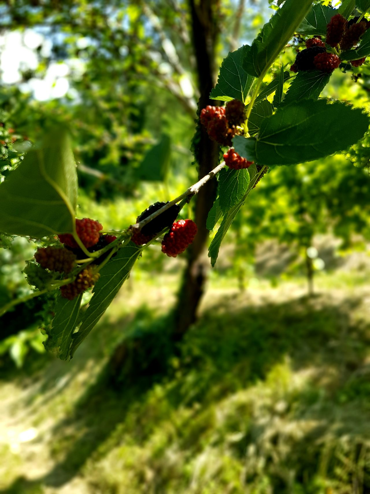 Green Color Day Nature No People Outdoors Focus On Foreground Plant Tree Close-up Beauty In Nature Proseccotime Proseccohills Mulberry Prosecco Land Mulberry Tree Growth