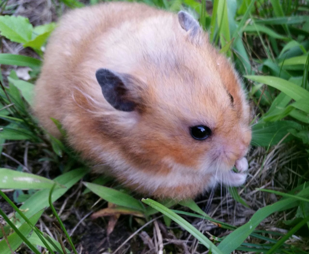 Beautiful stock photos of hamster, Beauty In Nature, Day, Field, Front Or Back Yard