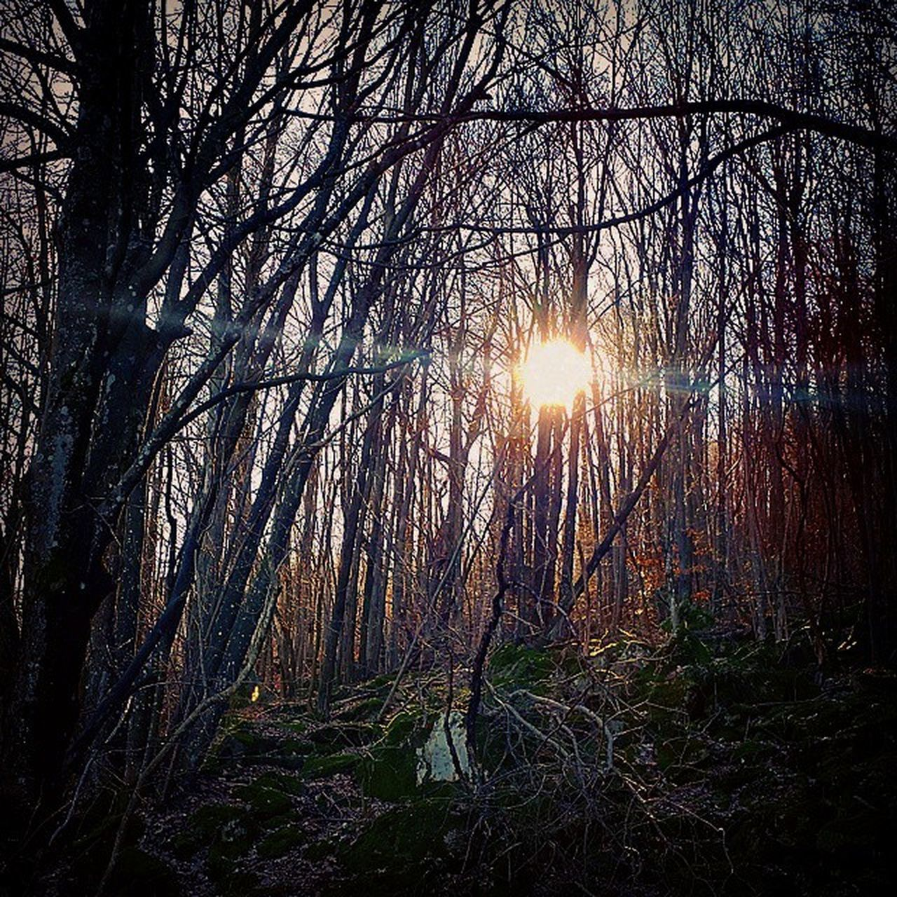 tree, forest, nature, lens flare, tranquility, beauty in nature, scenics, sun, tranquil scene, sunlight, sunbeam, tree trunk, no people, bare tree, outdoors, branch, sunset, growth, tree area, sky, day