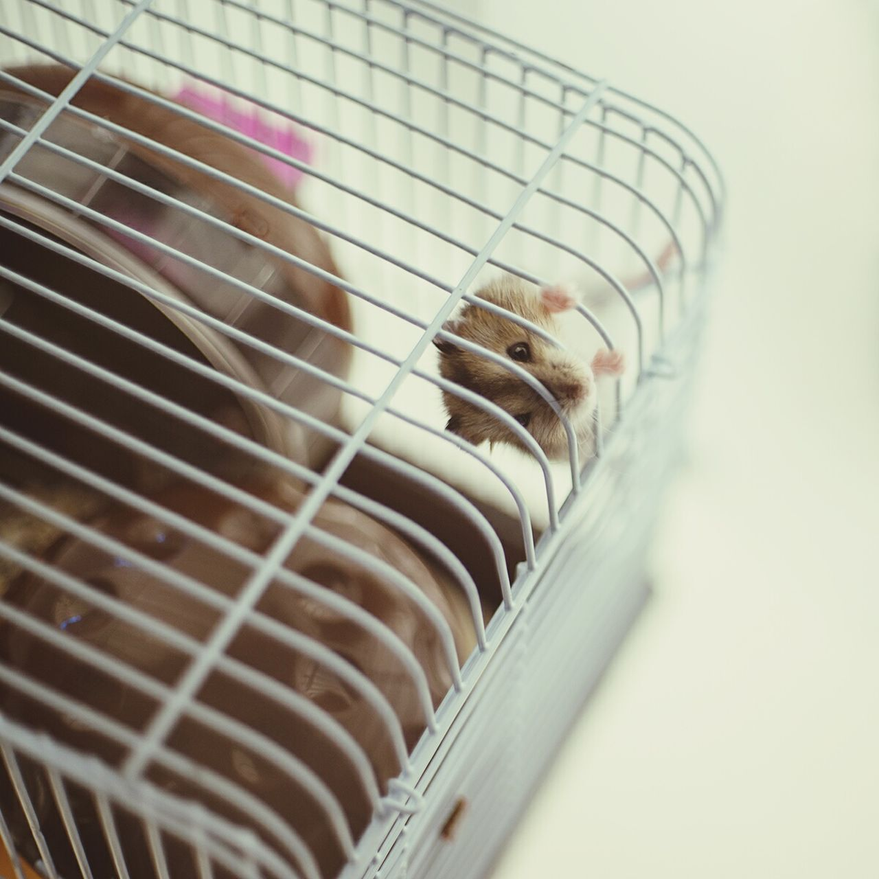 Hamster Hamster Dwarf Hamster Cage Caged Freedom Young Animal