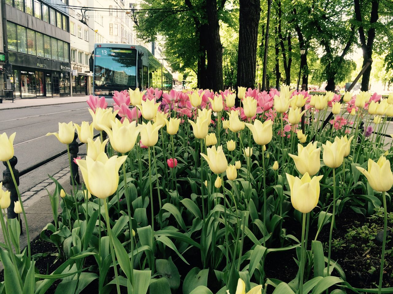 Spikersuppa 13 Trikken Tulips Summer Norway Public Transportation Tram